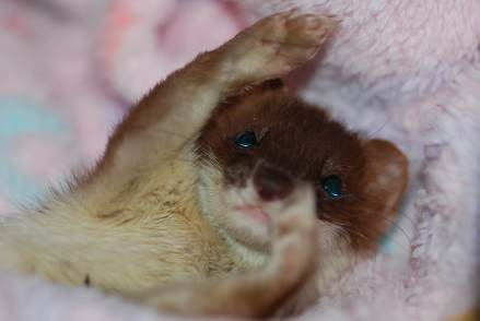 Little weasel in a blanket